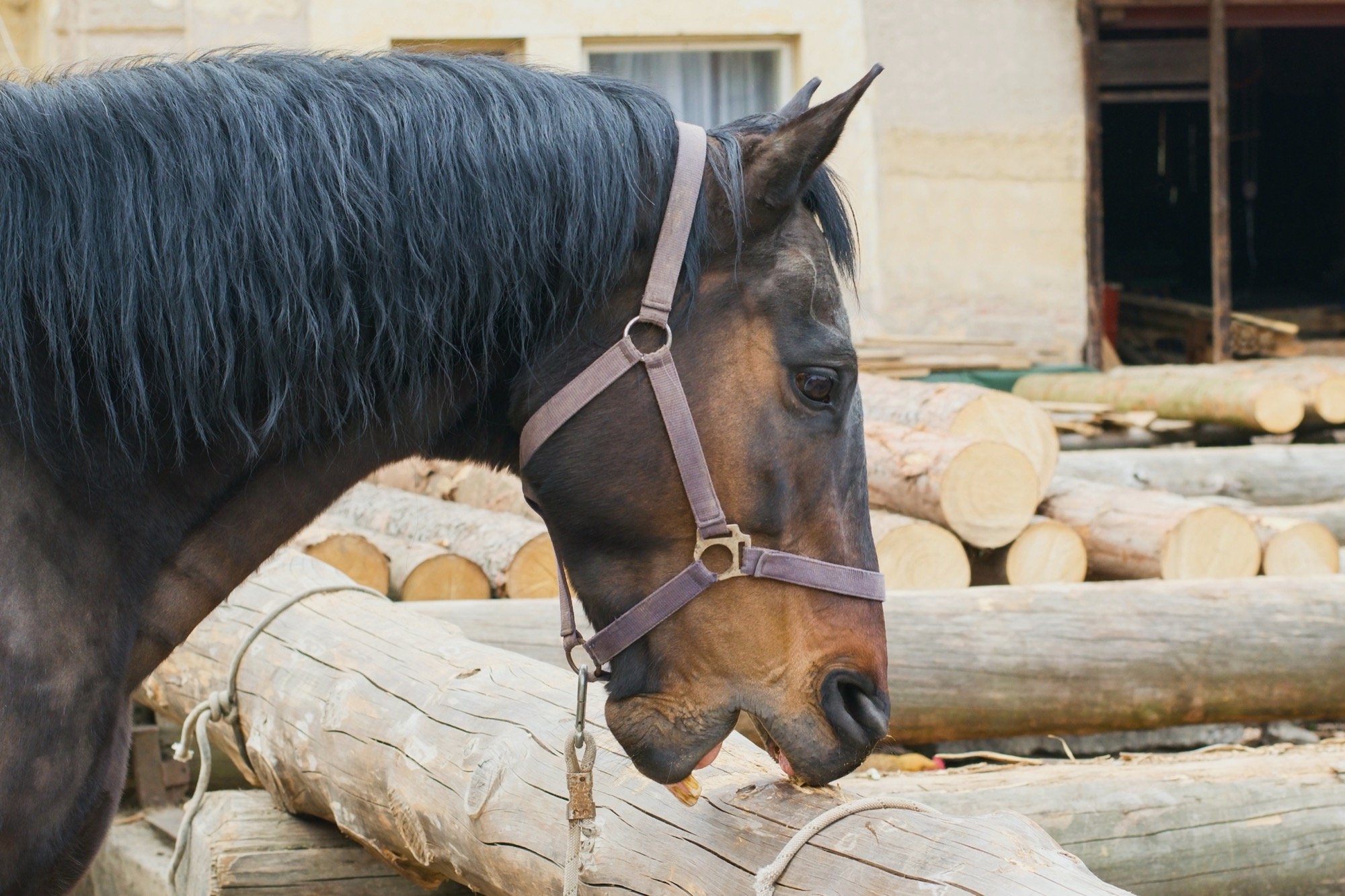 A horse exhibiting crib biting stereotypical behavior