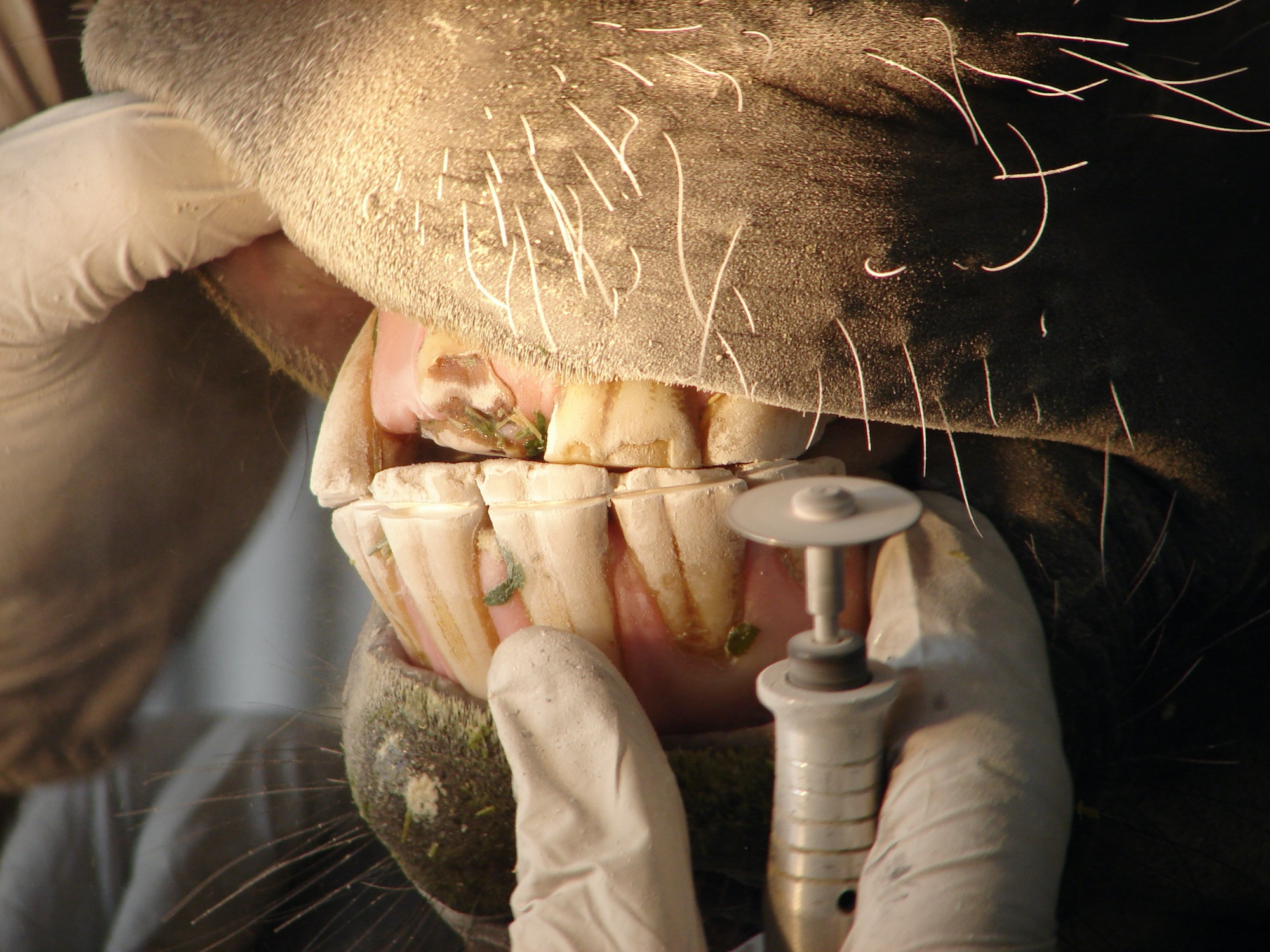 An equine dentist working on horse teeth with a power tool