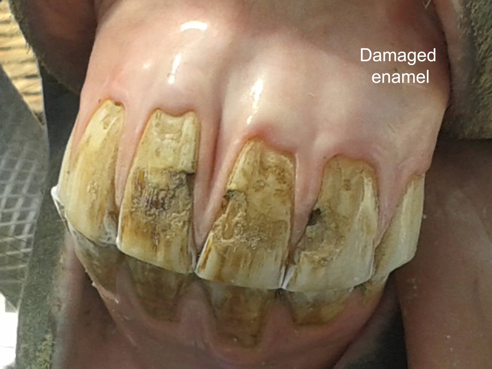 horse tooth damage from metal slow feeder