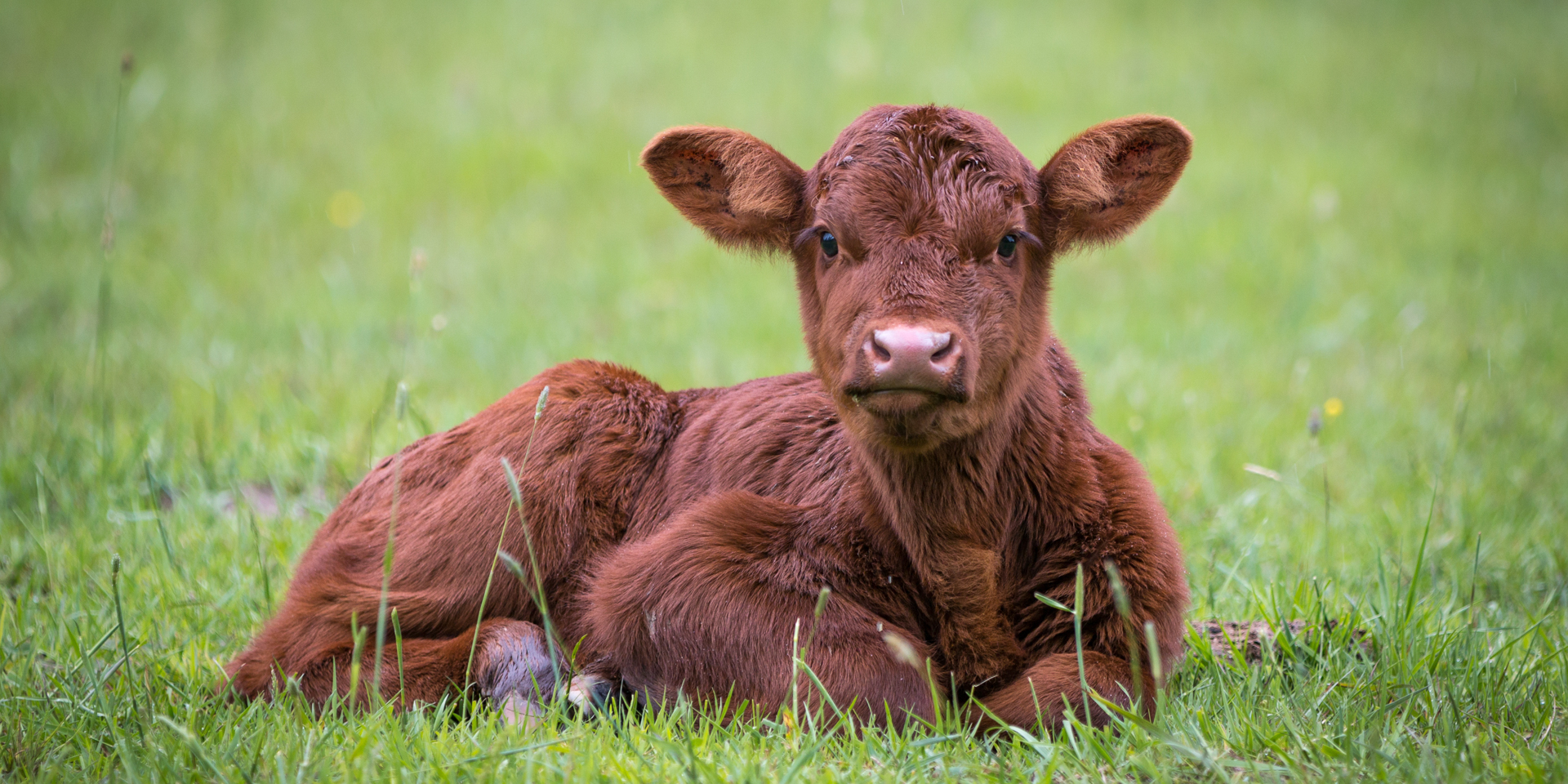 A calf resting before creep feeding