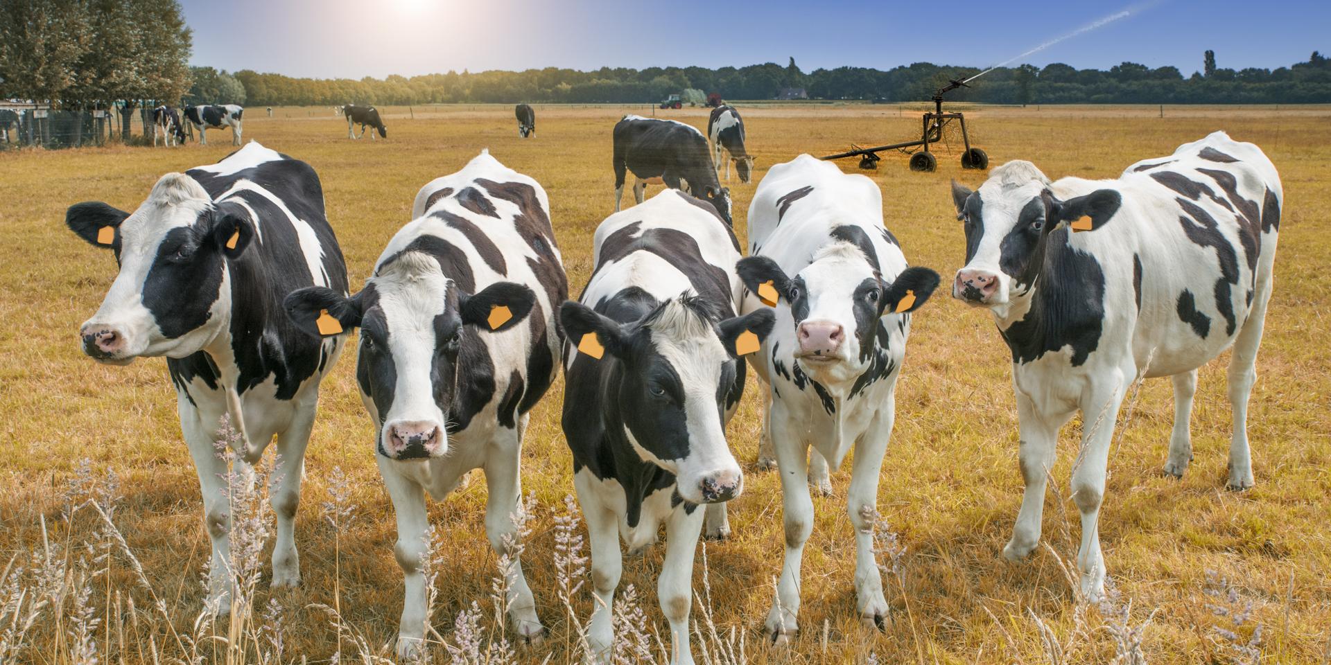 Cows waiting for farmers to begin creep feeding calves