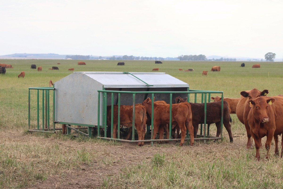 Calves eating from a creep feeder